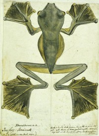 Flying-frog-Sarawak-1855-by-Alfred-Russel-Wallace-200x275