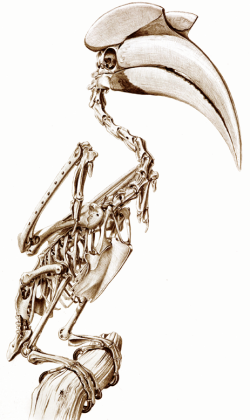 Skeleton of a Great Hornbill by Katrina von Grouw - The Unfeathered Bird (2012 Princeton University Press - Used with Permission)