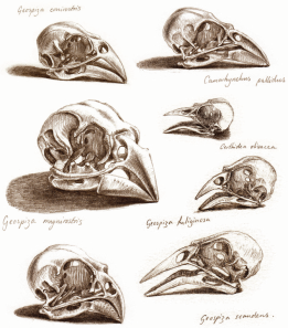 Skulls of Galapagos Finches by Katrina von Grouw - The Unfeathered Bird (2012 Princeton University Press - Used with Permission)