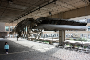 Finback Whale Skeleton outside the Cambridge University Museum of Zoology - 2.5yo child for scale (Photo by Josh Witten - All Rights Reserved)