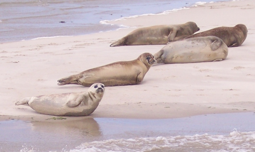 SealsWaddenSea