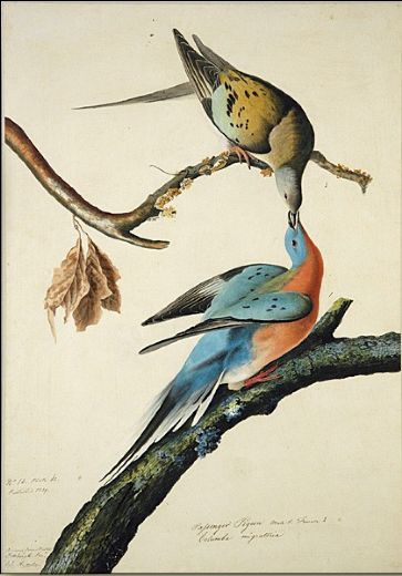 john-james-audubon-passenger-pigeon-81504