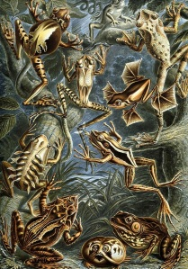 Haeckel_frogs_with_labels