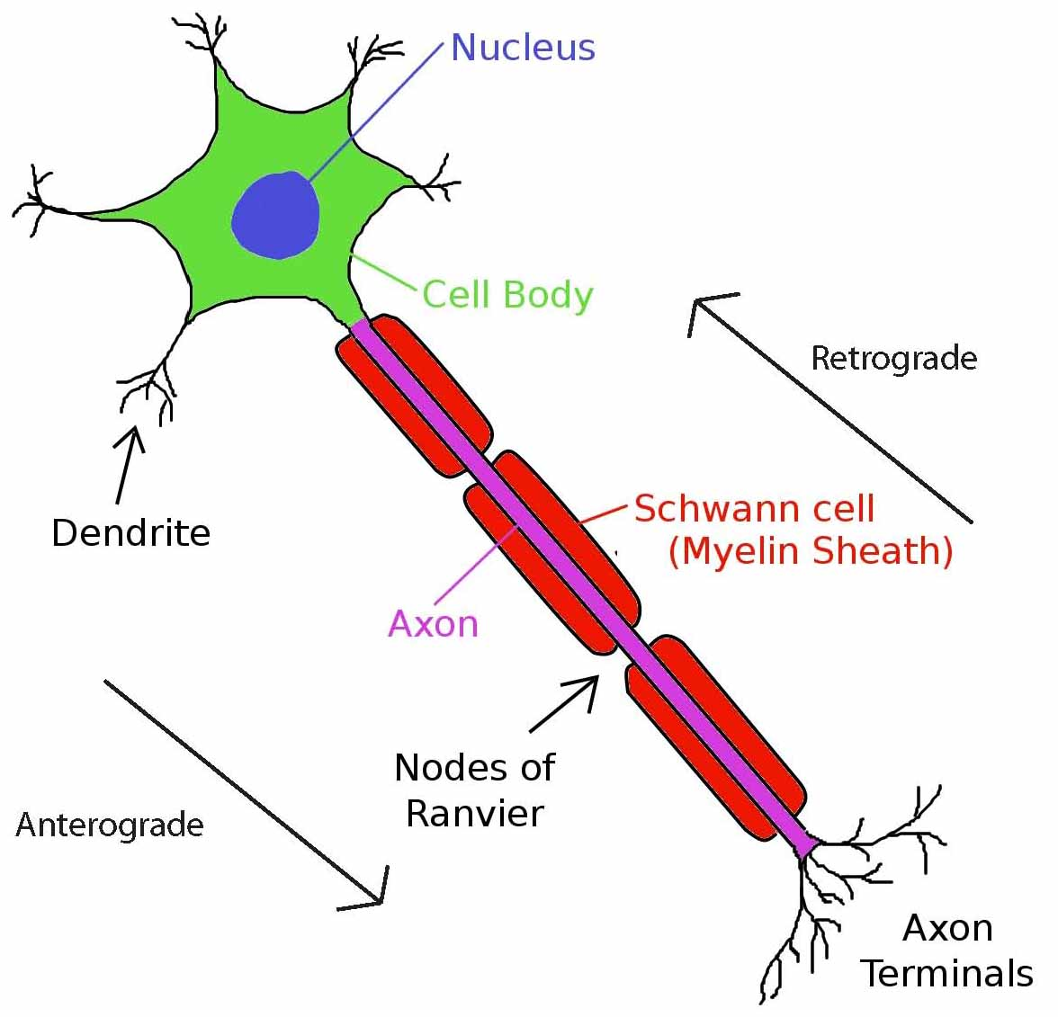 Normal neuron diagram information of wiring diagram rabies doing what it does best the finch and pea rh thefinchandpea com blank neuron diagram basic neuron diagram ccuart Choice Image