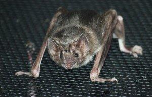Vampire_Bat_003