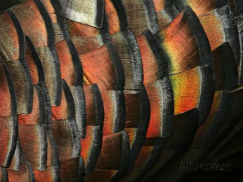 arthur-morris-wild-turkey-feather-close-up-las-colmenas-ranch-hidalgo-county-texas-usa