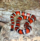 Mountain King Snake by Jean (CC BY 2.0)