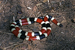 Coral Snake by (CC BY-NS-SA 2.0)