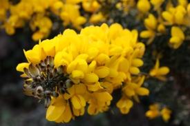 Gorse (Ulex europaeus); Photo Credit: Josh Witten (CC BY-NC-SA 2.0)