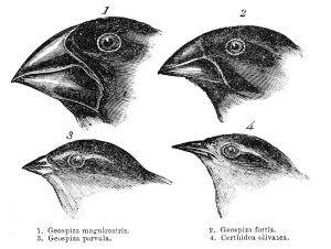 1024px-Darwin's_finches_by_Gould